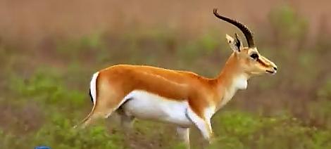 Azerbaijan Gazelles